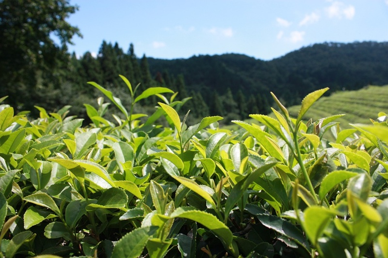 Healthy Benefits of Japanese Green Tea