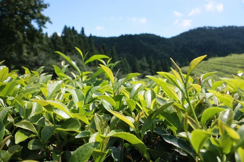 Healthy Benefits of Japanese Green Tea