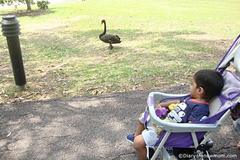 Black Swans at the Singapore Botanic Gardens