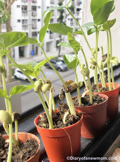 Growing Microgreens in Singapore