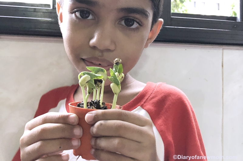Growing Microgreens in Singapore with kids